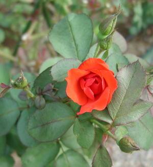 050917red-rose