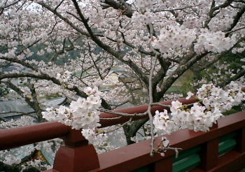 rankan-sakura