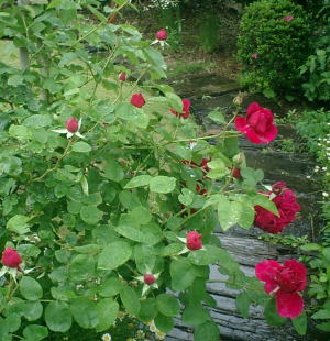 rose-path