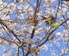 Sakuragreen07_2