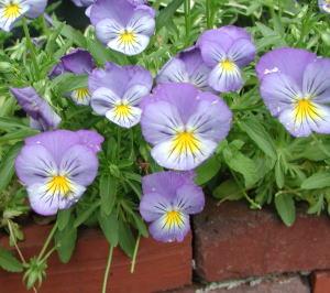 violet-brick