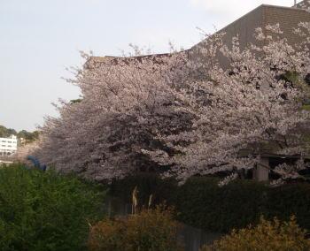 Sakuraparking08_2