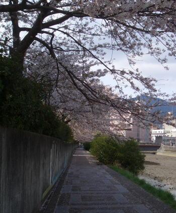 Sakuraroad208