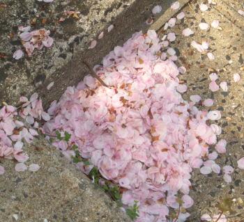 Sakurastep208