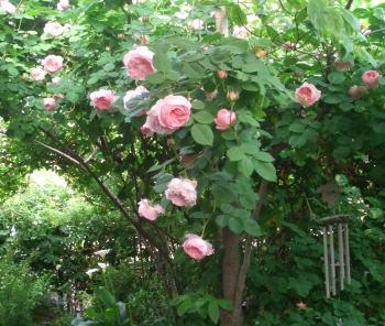 Rosegarden08may