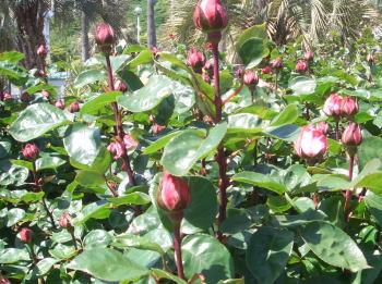Rosebuds208may